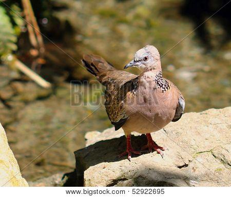 Laceneck Dove