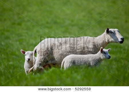 Ewe With Two Lambs