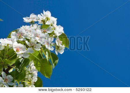 White Flowers Of Apple Tree