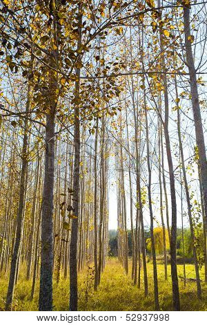 Fall Colors Tree Farm