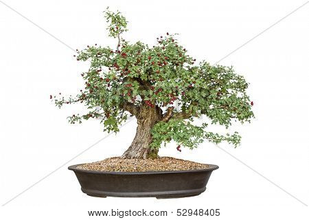 Bonsai tree with white background