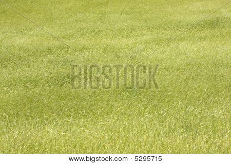 The Field Of Wheat Ears