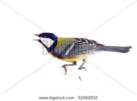 Tit Bird