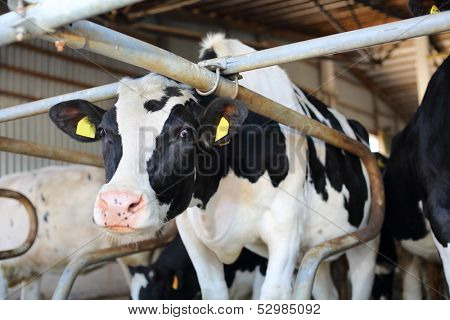 Black and white cow stands in big stall and looks into camera.