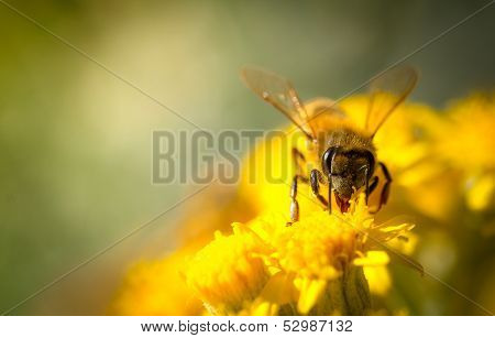 Honey Bee on a Yellow Flower, Nature Abstract