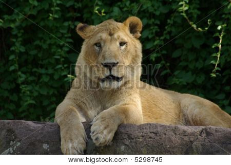 Lion Lady Outside