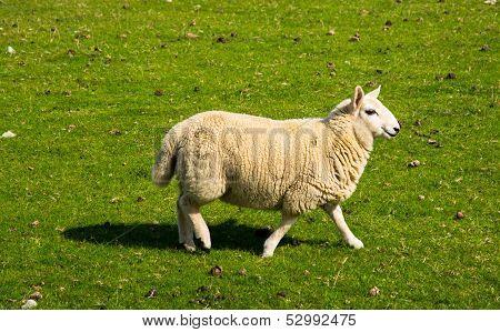Woolen Lamb
