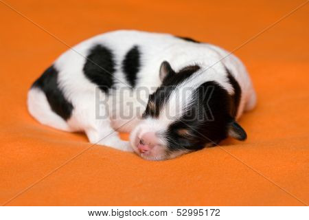 A Cute Sleeping One Week Old Tricolor Havanese Puppy Dog