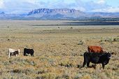 picture of sagebrush  - Cattle grazing open range in southern Utah. ** Note: Slight blurriness, best at smaller sizes - JPG