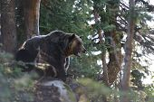 stock photo of grizzly bear  - Grizzly Bear roaring in the woods on top of Grouse Mountain - JPG