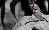 foto of java sparrow  - Java Sparrows  - JPG