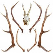 stock photo of cranium  - collection of beautiful hunting trophies of roe and red deer isolated over white - JPG