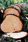 picture of greenpeace  - felled pine tree in the forest vertical - JPG