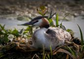 stock photo of great crested grebe  - Great Crested Grebe sitting on eggs on the nest - JPG