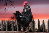 stock photo of black-cock  - black cock sitting on fence in village - JPG