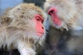 picture of macaque  - Macaques at Jigokudani Monkey Park in Nagano - JPG
