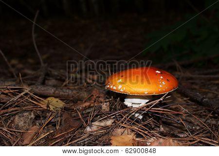 Amanita In Coniferous Forest
