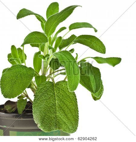 Border of fresh green sage close up macro in flower pot isolated on white