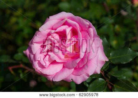 Pink Rose Isolated On Bush In Garden Background