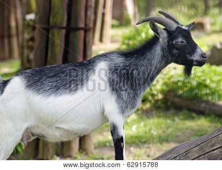 Pygmy Goat (capra Hircus)