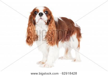 king charles spaniel dog on white