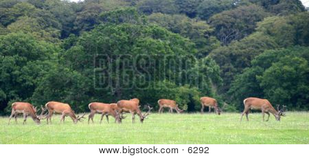 Stags Grazing