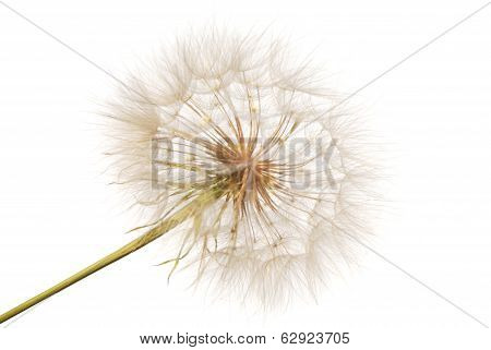 Feathery Seeds Of The Dandelion
