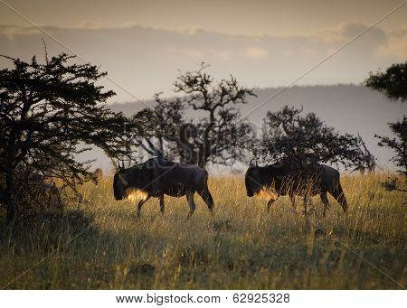 Wildebeest At Sunrise