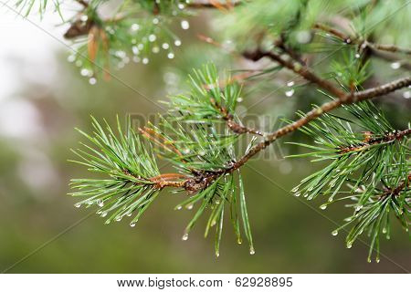 Pinetree With Raindrops On The Needles