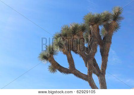 Joshua Tree with Blue Sky California