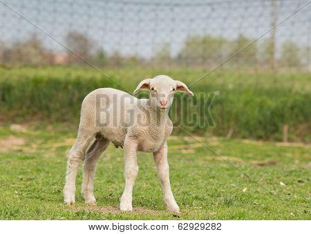 Clumsy Lamb