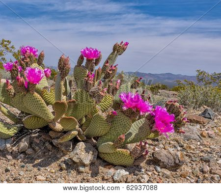 Beavertail Cactus Blooming In Desert