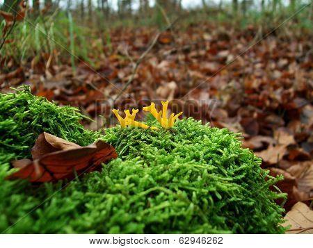 Mushroom Yellow Sticky