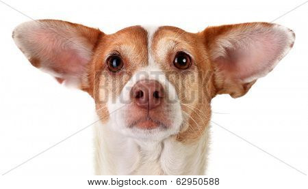 Focused mongrel dog with huge ears