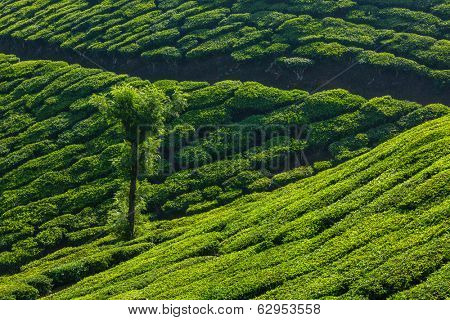 Kerala India travel background - tree in green tea plantations in Munnar, Kerala, India - tourist attraction