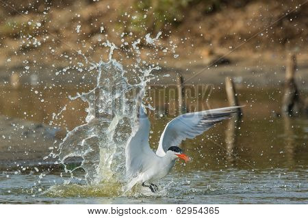 Caspian Tern Making A Splash