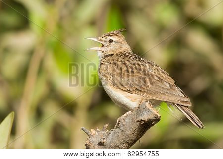 Crested Lark Singing From A Perch