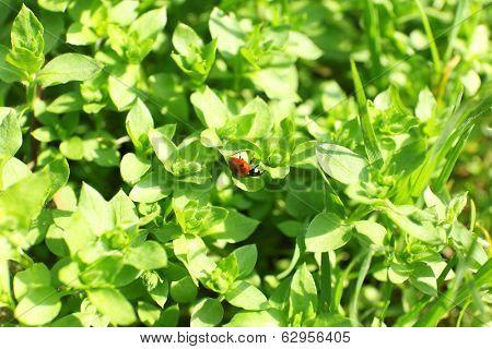 Little ladybug on green bush