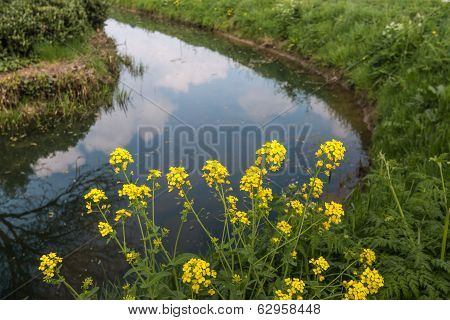 Flowering Field Mustard On The Banks Of A Ditch