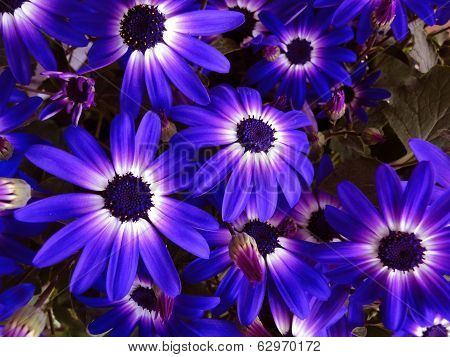Bi-Color Daisies