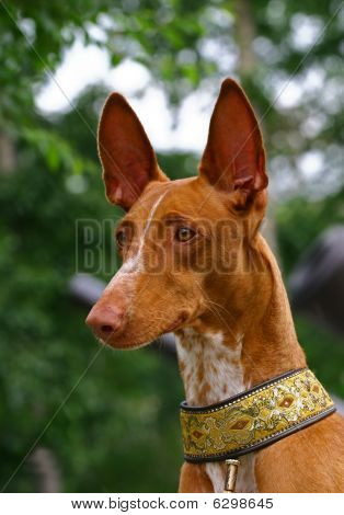 Portrate of Pharaoh hound 3/4