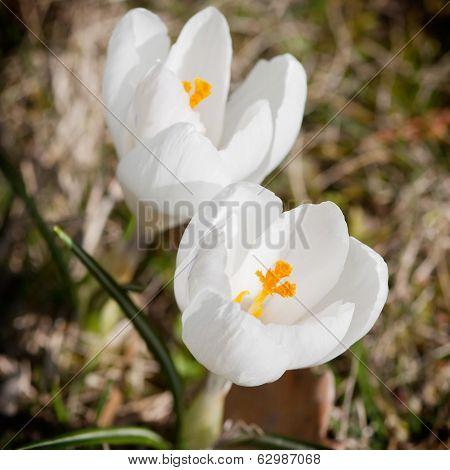 White Crocus (crocus Heuffelianus)