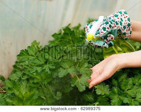 Parsley Bush Watering