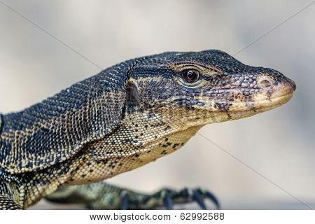 Water Monitor Lizard (varanus Salvator).