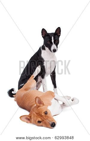 Two Basenjis on white
