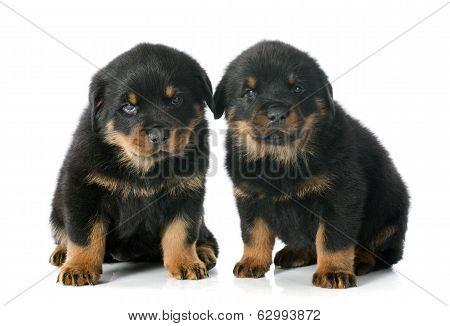 Puppies Rottweiler