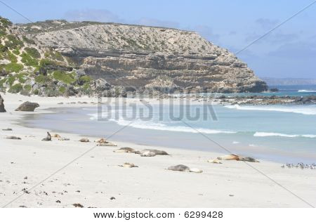Australian sea lions, Seal Bay, Kangaroo Island, Australia
