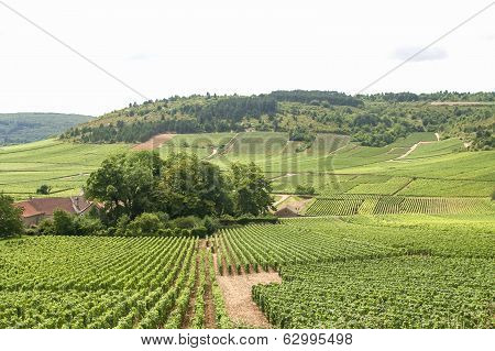 Vineyards In Ffrench Burgundy