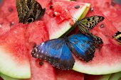 Butterflies With Blue Wings On Watermelon Closeup