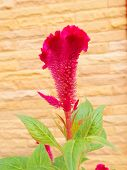 foto of celosia  - Plumed Cockscomb Chinese Wool Flower  - JPG